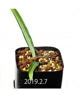 ドリミア ヒヤシントイデス IB40719 実生 3937