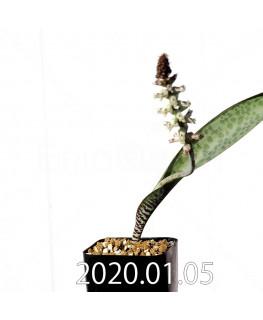 ラケナリア sp. JAA639 実生 3948
