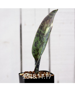 ラケナリア sp. JAA639 実生 3952