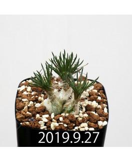 オーニソガラム sp.  子株 4005