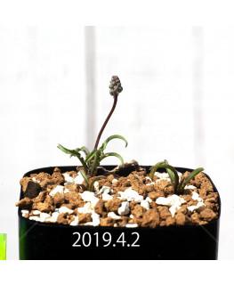 レデボウリア クリスパ 小型 子株 5460