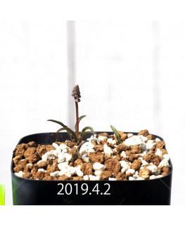 レデボウリア クリスパ 小型 子株 5471