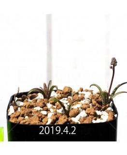 レデボウリア クリスパ 小型 子株 5491