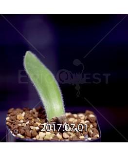 Haemanthus pauculifolius ハエマンサス パウクリフォリウス IB40732 5753