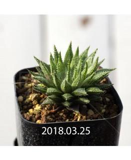 ハオルチア 交配種 暗黒竜 子株 6058