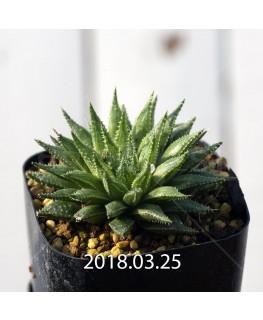 ハオルチア 交配種 暗黒竜 子株 6064