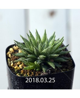 ハオルチア 交配種 暗黒竜 子株 6068