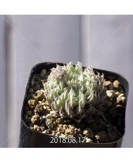 ハオルチア テネラ 子株 6136