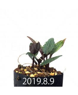ドリミオプシス sp. ES16596 子株 6227