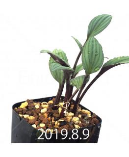 ドリミオプシス sp. ES16596 子株 6230