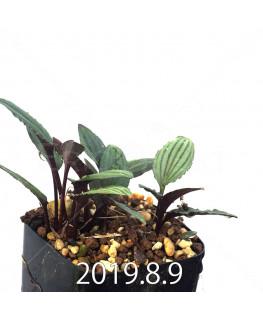 ドリミオプシス sp. ES16596 子株 6259