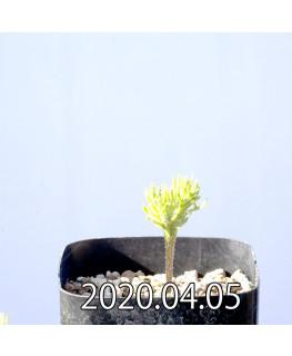 Eriospermum cervicorne エリオスペルマム ケルビコルネ MRO99  6743