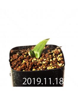 Albuca unifolia アルブカ ウニフォリア ES15533  6912