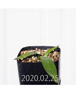 Albuca unifolia アルブカ ウニフォリア ES15533  6918