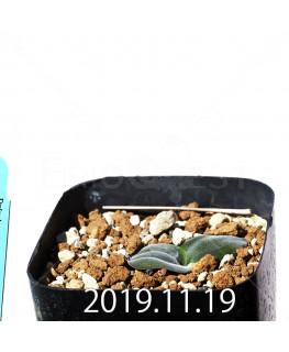 ドリミア sp. cf. プラティフィラ Lemoen poo 実生 7139