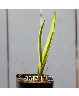 ラケナリア アロイデス クアドリカラー変種 子株 7334