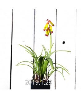 ラケナリア アロイデス クアドリカラー変種 子株 7341