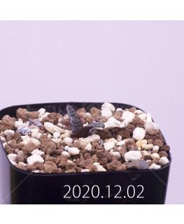 Lachenalia pustulata ラケナリア プスツラータ ISI2007-26  7741