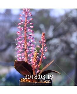 ラケナリア プスツラータ ISI2007-26 子株 7744