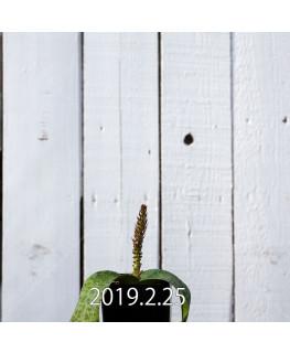 ラケナリア クリプランデンシス 実生 7850