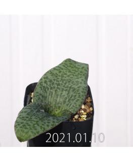 Lachenalia kliprandensis ラケナリア クリプランデンシス EQ443  7865