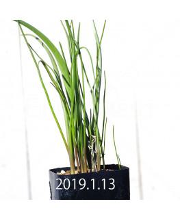 ラケナリア ロンギチューバ Type-TS 子株 7905