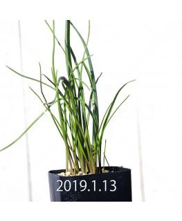 ラケナリア ロンギチューバ Type-TS 子株 7906