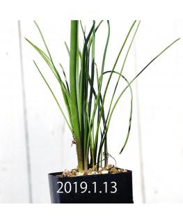 ラケナリア ロンギチューバ Type-TS 子株 7908