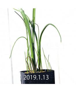 ラケナリア ロンギチューバ Type-TS 子株 7911