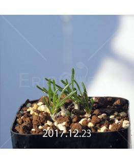 オーニソガラム sp. KangoRiver 子株 8022