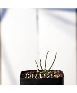オーニソガラム ムルチフォリウム 子株 8053