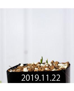 ラケナリア コリンボーサ EQ453 実生 8378