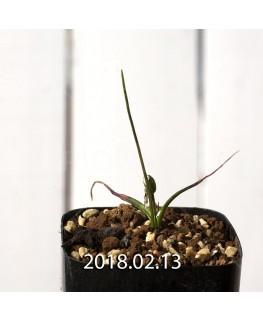 ラケナリア コリンボーサ EQ453 実生 8387