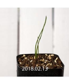 ラケナリア コリンボーサ EQ453 実生 8390