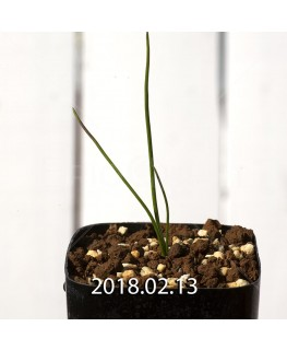 ラケナリア コリンボーサ EQ453 実生 8391