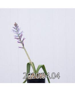 ラケナリア オーキオイデス グラウキナ変種 実生 8412