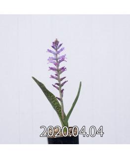 ラケナリア オーキオイデス グラウキナ変種 実生 8417