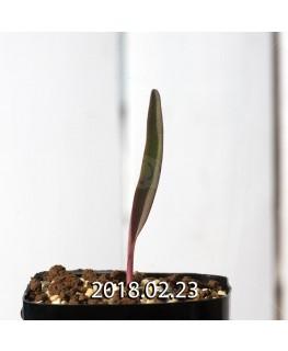 ラケナリア オーキオイデス グラウキナ変種 実生 8420