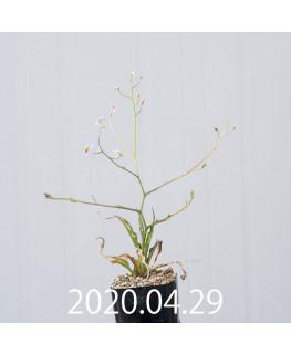 キアネラ ヒヤシントイデス EQ461 実生 8426