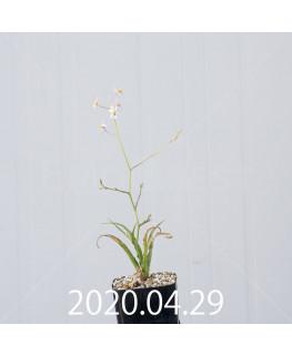 キアネラ ヒヤシントイデス EQ461 実生 8427