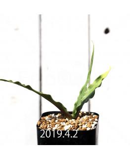 キアネラ ヒヤシントイデス EQ461 実生 8429