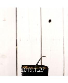 ラケナリア ムタビリス EQ467 実生 8509