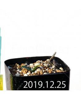 ラケナリア アロイデス アウレア変種 子株 8630