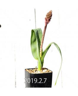ラケナリア 交配種 EQ483 子株 8650