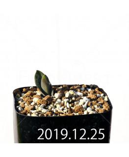 ラケナリア 交配種 EQ483 子株 8651