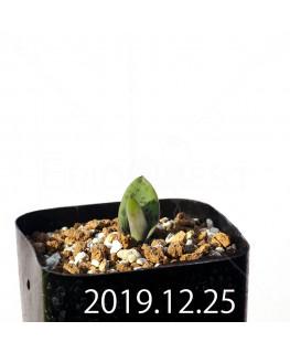 ラケナリア 交配種 EQ483 子株 8653