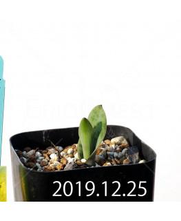 ラケナリア 交配種 EQ483 子株 8657