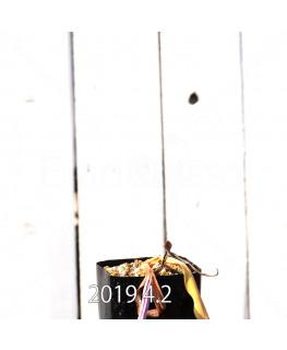 ラケナリア 交配種 EQ483 子株 8658