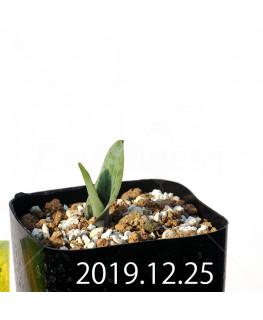 ラケナリア 交配種 EQ483 子株 8661