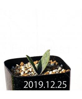 ラケナリア 交配種 EQ483 子株 8662